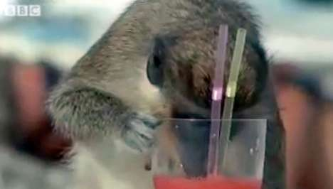 Studying Primate Alcoholism - Vervet Monkeys Steal Drinks, Reveal Clues About Human Drinking Habits