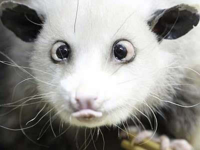 Cross-Eyed Opossums - Leipzig Zoo's Latest Furry Social Media Sensation