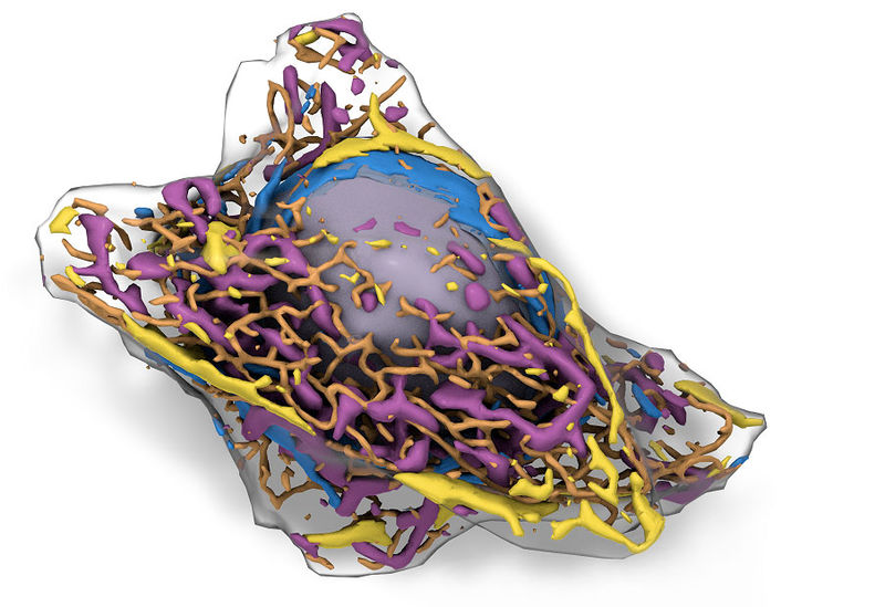 Predictive 3D Cell Models