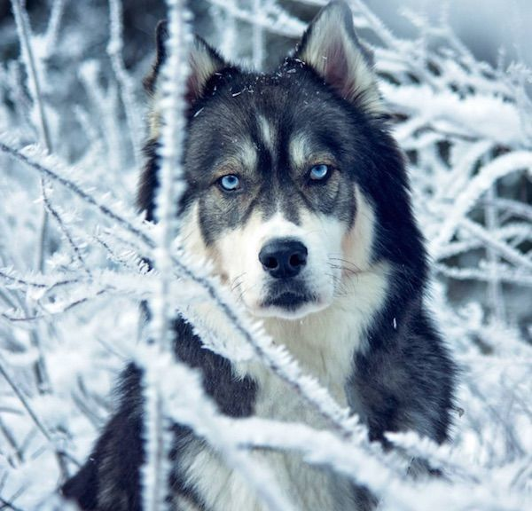 Enchanting Husky Photography
