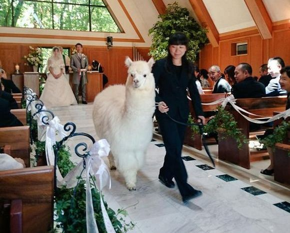 Alpaca Wedding Rentals