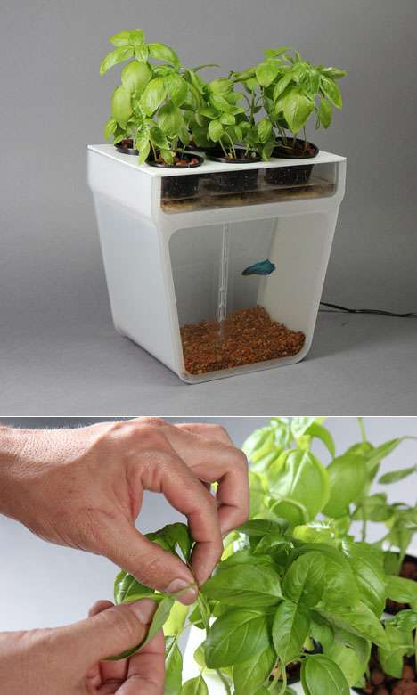 Fishtank planter hybrids aquaponics garden for Aquaponics fish food