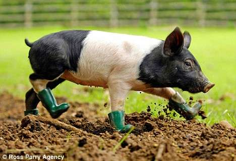 Rain Boots for Pigs