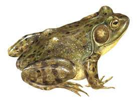 False Legs for Frogs