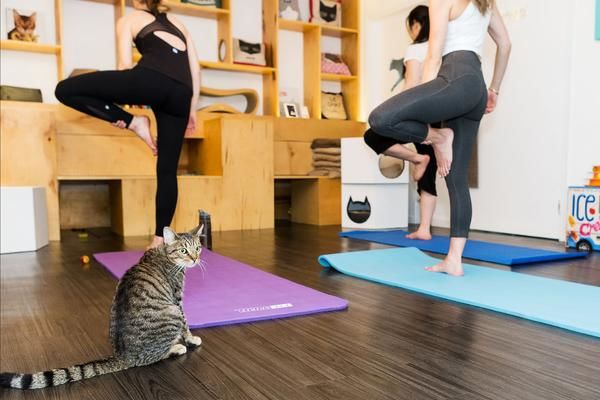 Feline Yoga Classes