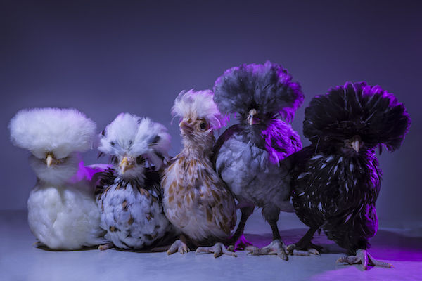 80s Chicken Photography