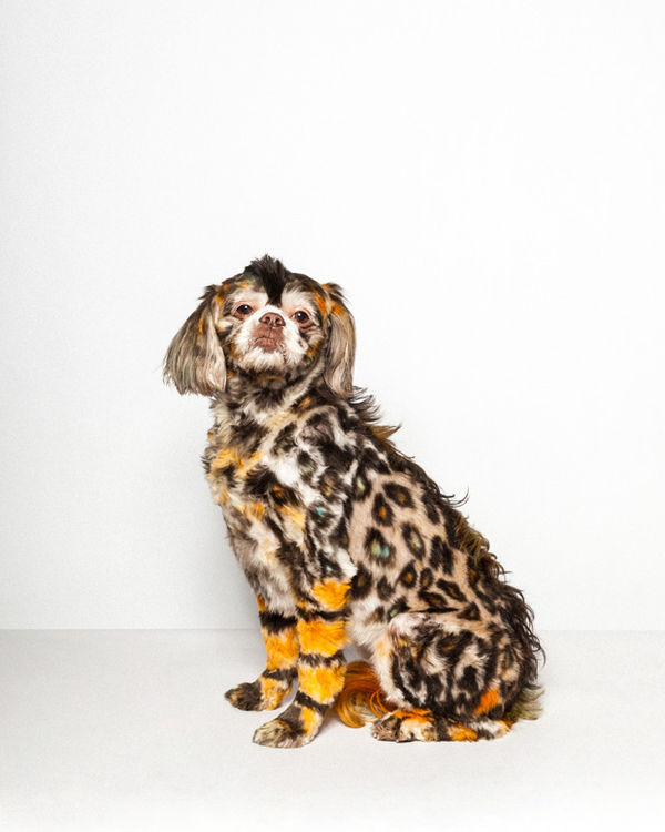 Colorful Primped Fur Photography