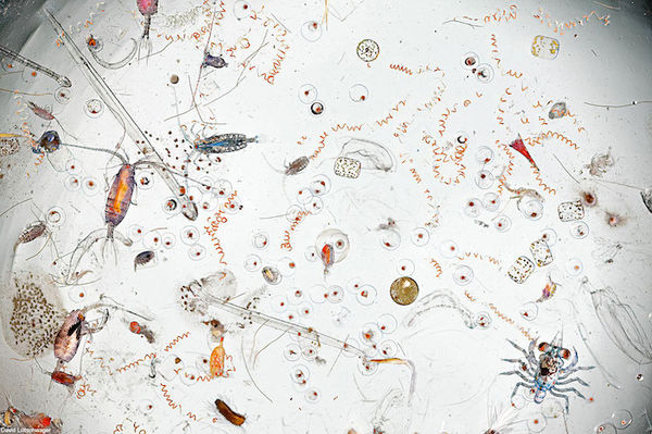 Magnified Seawater Plankton