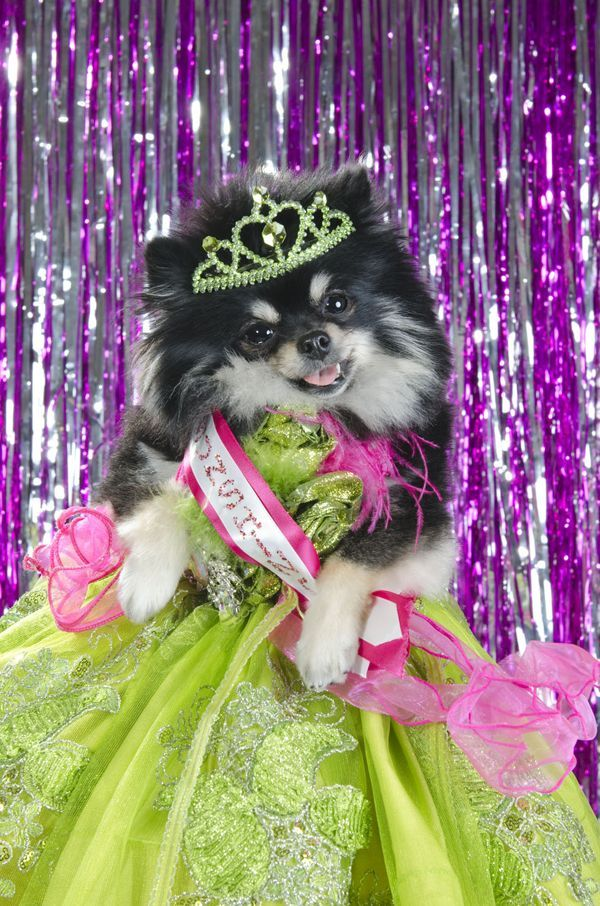 Canine Beauty Pageants