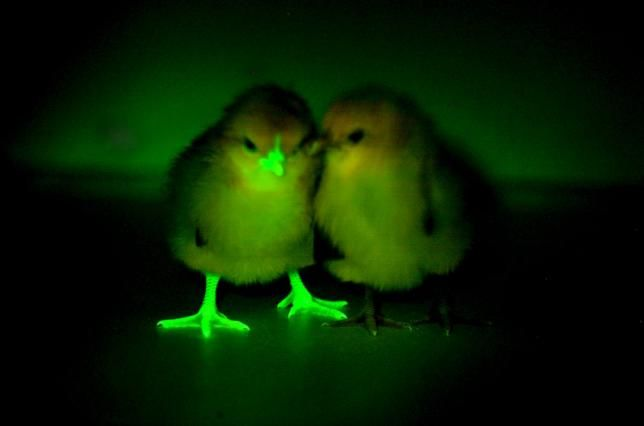 Glow-in-the-Dark Chickens