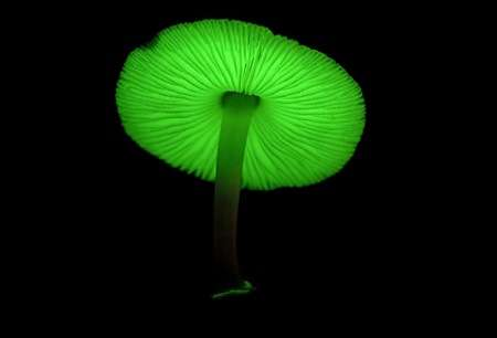 Glow-in-the-Dark Mushrooms