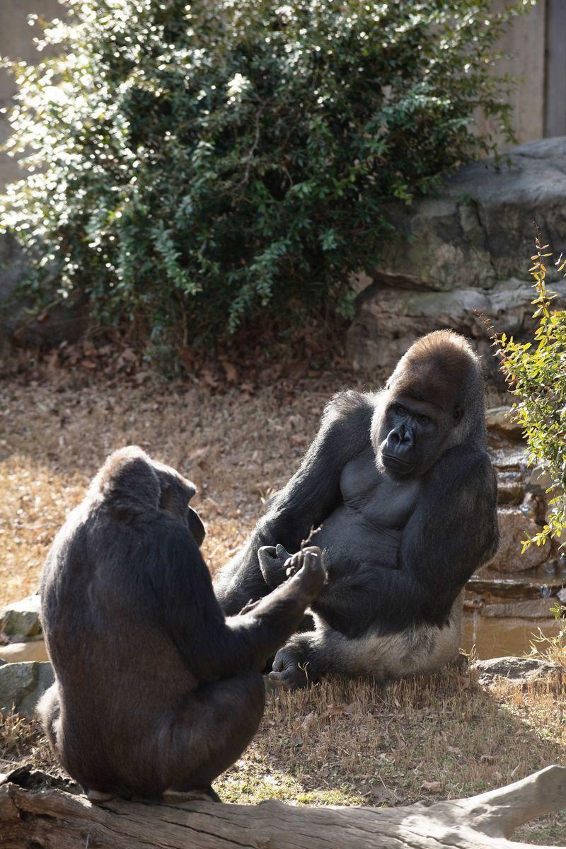 Gorilla Mate-Finding Algorithms