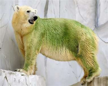Green Polar Bears