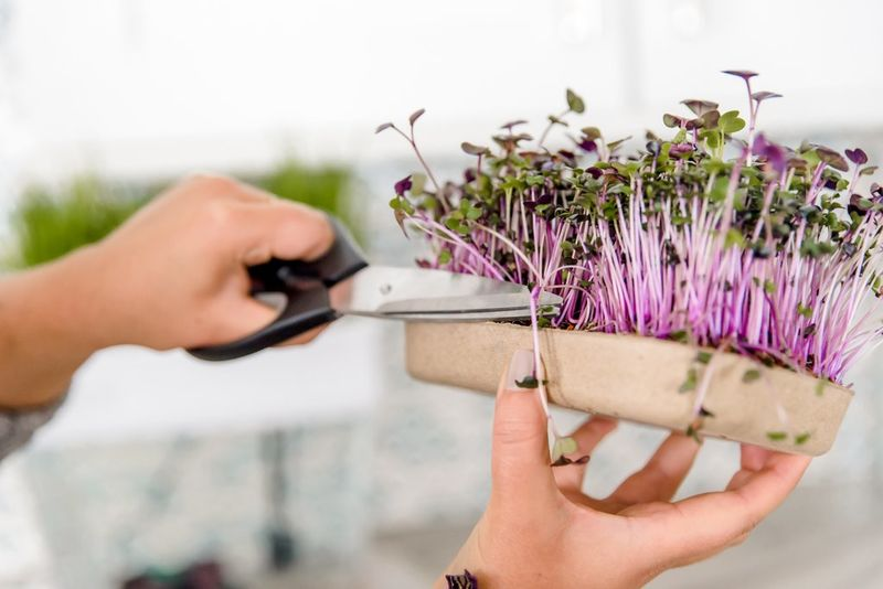 DIY Microgreens Kits