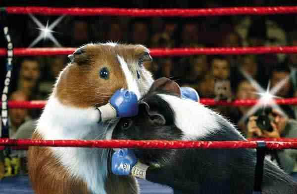 Guinea Pig Olympics