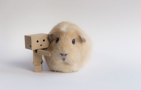 Hipster Guinea Pig Photography