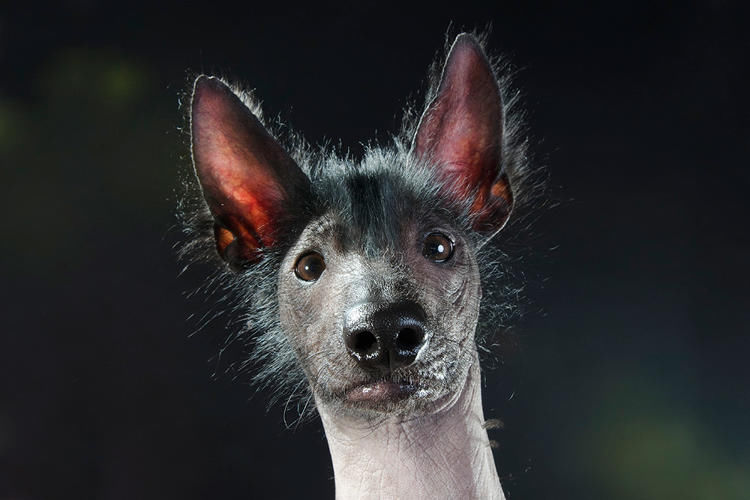 Lovable Hairless Dogs