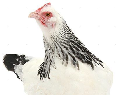 Heritage Chicken Protection Programs