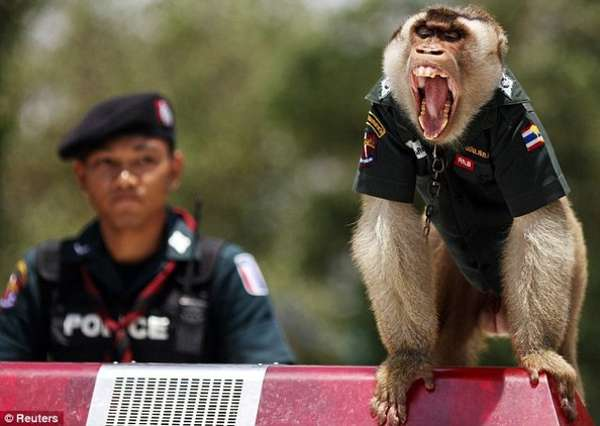 Macaque Cops