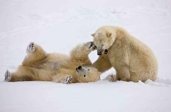 Cuddly Polar Bear Shoots