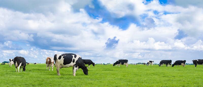 Microbiome-Enhanced Cows