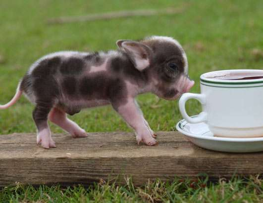 Teacup Pig Pets