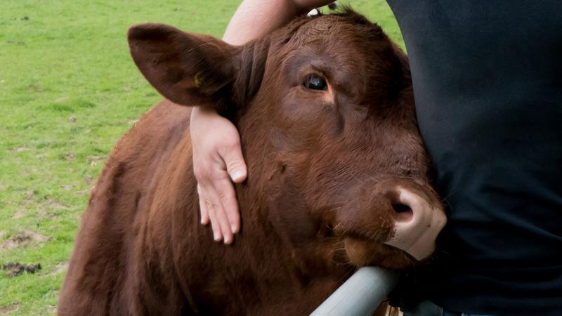 Cow-Cuddling Wellness Centers