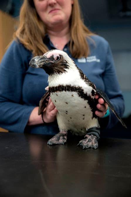 Protective Penguin Prosthetics