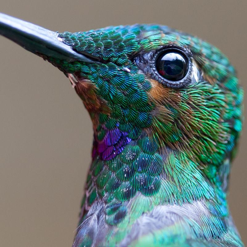 Macro Hummingbird Photography