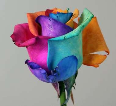 Rainbow Roses Amazing Happy Flowers