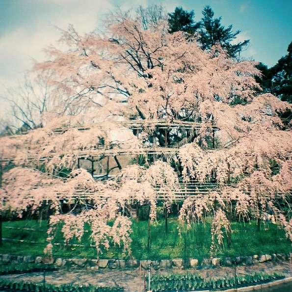 Smoggy Sakura Snapshots