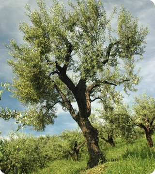 Adopt an Olive Tree
