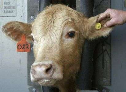 Human-Cow Embryos