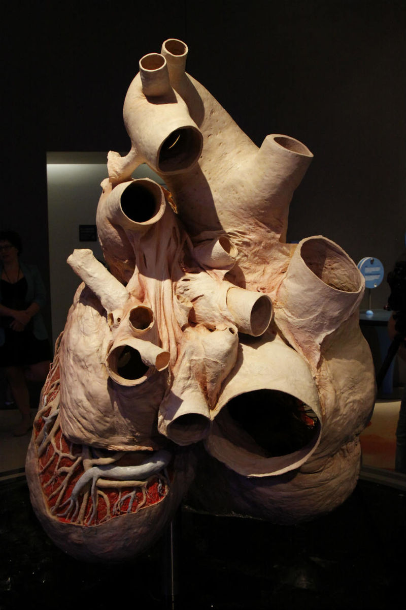Anatomical Whale Heart Exhibitions